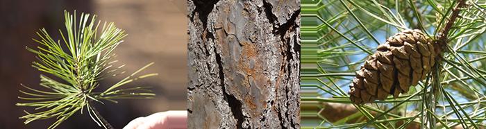 Shortleaf Pine Leaf Figure 2 Shortleaf Pine